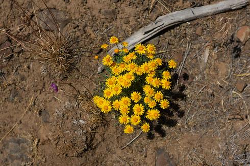 Wildflower Oregon sunshine, Vantage, WA